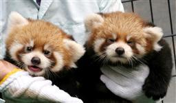 レッサーパンダ 双子の姉妹