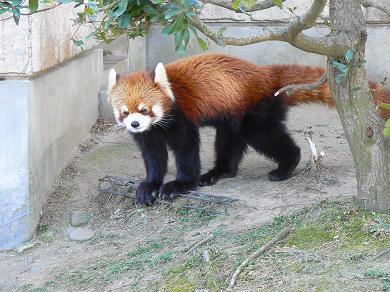レッサーパンダ 次郎 市原動物公園